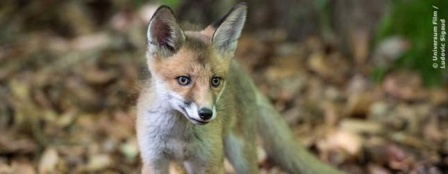 Ein junger Fuchs schleicht durch das Laub.